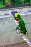 Arcobaleno Lorikeet Fotografia Stock