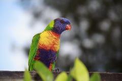 Arcobaleno Lorikeet Fotografia Stock Libera da Diritti