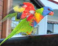 Arcobaleno Lorikeet fotografie stock libere da diritti