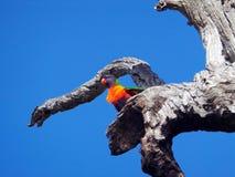 Arcobaleno Lorikeet, Australia occidentale Fotografia Stock Libera da Diritti