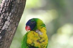 Arcobaleno Lorikeet che dorme sull'albero Fotografia Stock Libera da Diritti