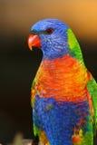 Arcobaleno Lorikeet che posa per la macchina fotografica Fotografie Stock