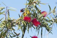Arcobaleno Lorikeet su un albero della spazzola di bottiglia Fotografia Stock Libera da Diritti