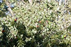 Arcobaleno Lorikeets Immagine Stock Libera da Diritti