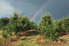 Arcobaleno sopra il frutteto di frutta Immagine Stock Libera da Diritti