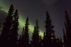 Arcoss för nordliga ljus de svärtade himlarna av ett alaskabo liv som stirrar upp på stjärnorna Nordliga ljus över de svarta gran Royaltyfria Foton