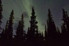 Arcoss för nordliga ljus de svärtade himlarna av ett alaskabo liv som stirrar upp på stjärnorna Nordliga ljus över de svarta gran Royaltyfri Foto