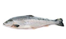 arctc λευκό θάλασσας σολομών της Ρωσίας ψαριών Στοκ Φωτογραφίες