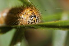 Arctia cajalarva Caterpillar Arkivbild
