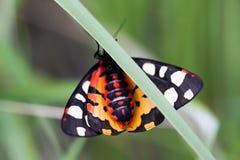 Arctia villica蝴蝶后侧方 美好的飞行昆虫橙色黑白色颜色,绿草叶子背景 免版税图库摄影