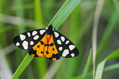 Arctia villica蝴蝶 美好的飞行昆虫橙色黑白色颜色,绿草叶子背景 有选择性 图库摄影