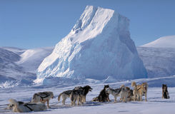 Arctic, Baffin island. Sledge dogs at rest Stock Photography