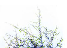 Arctic birch in spring on white background Royalty Free Stock Image