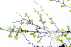 Arctic birch in spring on white background Royalty Free Stock Photo