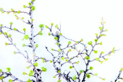 Arctic birch in spring on white background Royalty Free Stock Photos