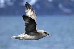 Arctic bird in flight, Svalbard Royalty Free Stock Images