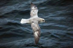 Arctic bird in flight, Svalbard Stock Photo