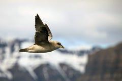 Arctic bird in flight, Svalbard Stock Images