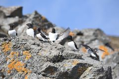 Arctic birds (Little auk) Royalty Free Stock Images
