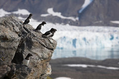 Arctic birds (little auks) over the glacier Royalty Free Stock Image