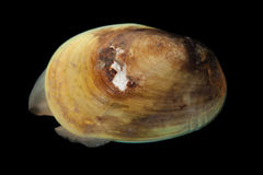 Arctic bivalve mollusc Stock Photography