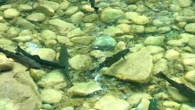 Arctic char. Alps, arctic char into the wild stock footage
