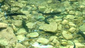 Arctic char. Alps, arctic char into the wild stock video