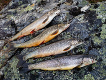 Arctic char Royalty Free Stock Image