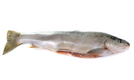 Arctic char. In front of white background stock photos
