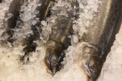 Arctic char on ice Stock Photography