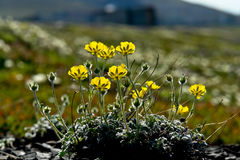 Arctic Chukotka. Flowers in the  tundra. Royalty Free Stock Photo