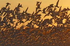 Arctic, common and least terns Royalty Free Stock Photography