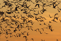 Arctic, common and least terns Royalty Free Stock Images
