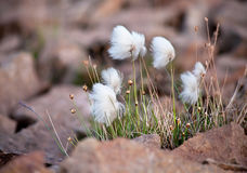 Arctic cotton grass Stock Photo
