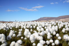 Arctic Cotton Grass Scene Stock Images