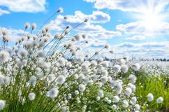 Arctic cotton. Spring bright landscape with flowering arctic cotton Royalty Free Stock Photo