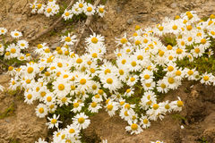 Arctic daisies Northern flowers Royalty Free Stock Photography