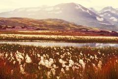Arctic flowers Stock Photos