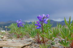 Arctic Flowers. Gorgeous Arctic lupins bloom in the remote tundra mountains of Yukon`s Ivvavik National Park, in the northern reaches of Canada Stock Photo