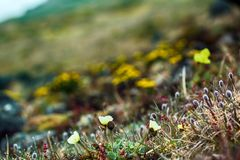 Arctic poppy and alpine foxtail on background of flourishing tundra. Arctic flowers, plant association in cold desert. Exotic Arctic poppy and alpine foxtail Stock Images