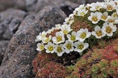 Arctic flowers - Saxifraga cespitosa. Arctic flowers in bloom - Saxifraga cespitosa - Franz Josef Land archipelago stock photos