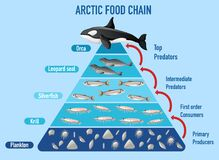 Free Arctic Food Chain Pyramid Stock Images - 193606454
