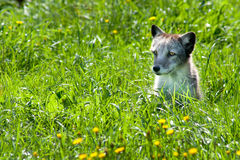 Arctic Fox 01 Stock Image