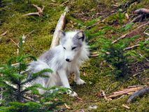 Arctic fox. A arctic foxes pose for the camera Stock Photos
