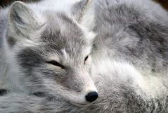 Arctic Fox. Close-up portrait of an Arctic Fox while he is sleeping Royalty Free Stock Photography