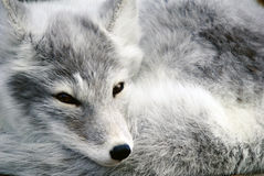Arctic Fox. Close-up portrait of an Arctic Fox while he is sleeping Royalty Free Stock Photos