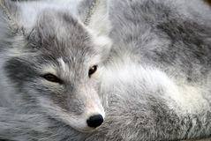 Arctic Fox. Close-up portrait of an Arctic Fox while he is sleeping Royalty Free Stock Images