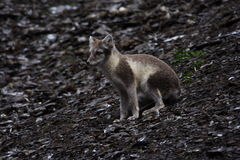 Arctic Fox. With summer coat on stock photos