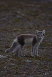 Arctic Fox. With summer coat on royalty free stock photo
