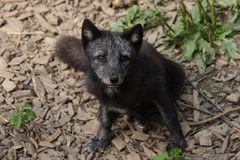 Arctic Fox. (Alopex lagopus or Vulpes lagopus Stock Photos